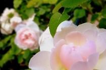 淡いピンクのバラの花|宝塚花の道にて