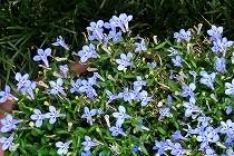 ブルーの額アジサイ。宝塚花の道にて撮影。