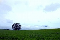 岩手県、小岩井農場の一本桜と岩手山。夏草の中に立つ一本桜。