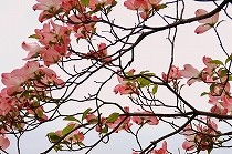 満開のハナミズキの花。ピンク色の花が春らしいです。