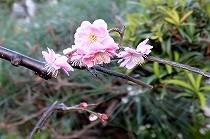 開き始めた梅の一枝。ピンク色の花が春を告げています。