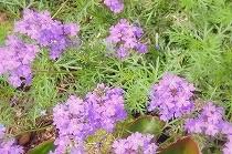 紫色の花をびっちりと付けたバーベナ。宝塚花の道にて撮影。