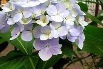 宝塚花の道に咲いたあじさい。 梅雨に入ってますます生き生きしてきました。薄いブルーの花が涼しげです。
