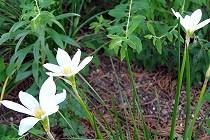 秋の訪れを告げる「たますだれ」の白い花。