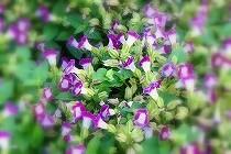 夏から秋にかけて、株を覆うように沢山の紫の花をつけるトレニア。宝塚花の道にて撮影。