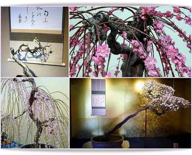 関西の春の風物詩、滋賀県長浜盆梅展。丹精込めた梅の鉢が圧巻でした。