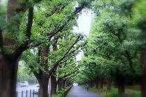青山1丁目の銀杏並木。新緑が美しい。森田空美先生の着付けのお稽古帰りにお散歩しました。