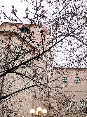 つぼみが膨らんだ宝塚「花の道」のさくら。宝塚大劇場をバックに撮影。