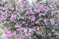 宝塚「花の道」に咲く薄紫の花。名前はわかりませんが着付け国家技能検定の合格を喜んでくれているようです。