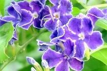 デュランタ・宝塚。 紫の花のふちが白いフリルになっていてタカラジェンヌをイメージさせる。