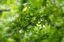新緑の楓/青もみじとも呼ばれます。|京都にて撮影しました。