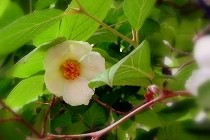 宝塚「花の道」に咲く夏椿の白い花がすがすがしい。