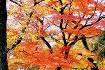 今年は暖かいせいか、紅葉が遅いです。着付け教室の近所で見つけた楓の紅葉も今が見ごろです。