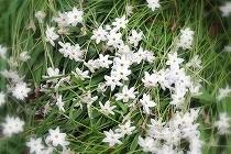 ハナニラが満開の花壇。六弁の花弁が真っ白な星をちりばめたようです。