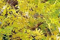 紅葉が進んできました。黄色く色づいた、こちらは何の木でしょうか?