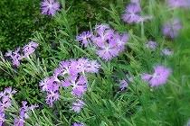 撫子の花。石垣の間でひっそりと咲いていました。