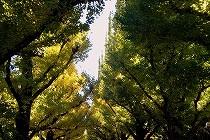 神宮外苑前の銀杏並木。今年はまだ色づいていません。