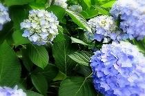 関西地方も梅雨入りしました。梅雨時を彩る満開のアジサイの花。大阪にて。