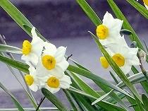 日本水仙の香りが春を呼びます。