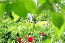 新緑の中に見え隠れする深紅のばら | 宝塚花の道にて