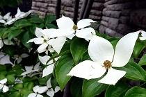 白い花をいっぱい付けたやまぼうし。葉の緑とのコントラストがすがすがしい。宝塚にて撮影。