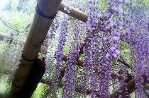 奈良、春日大社の藤の花。藤色の房が重たげ。