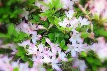 薄いピンクのつつじの花と、若葉の緑が春です。