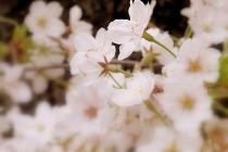満開のソメイヨシノの花。宝塚花の道にて撮影。