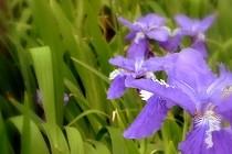 紫色が鮮やかなあやめの花