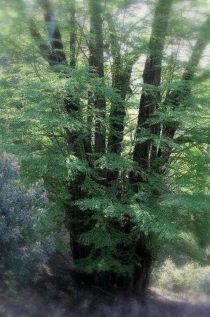 岩間寺から谷を降りると、日本最大規模といわれる桂の大樹群が広がります。