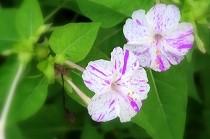 夏の夕方甘い香りを漂わせて咲く、オシロイバナ。  白地にピンクの斑入りの花。