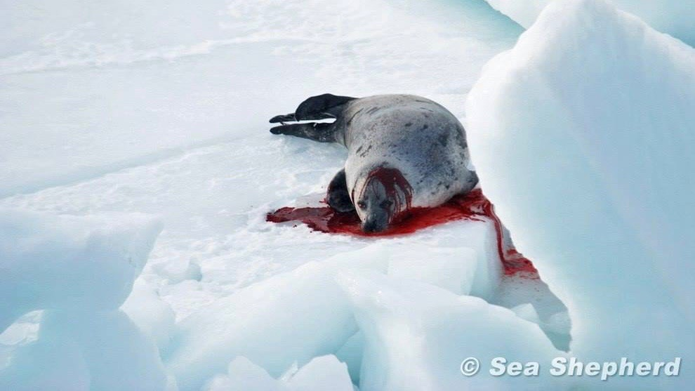 Robbenmassaker Kanada Sandy P.Peng Blog