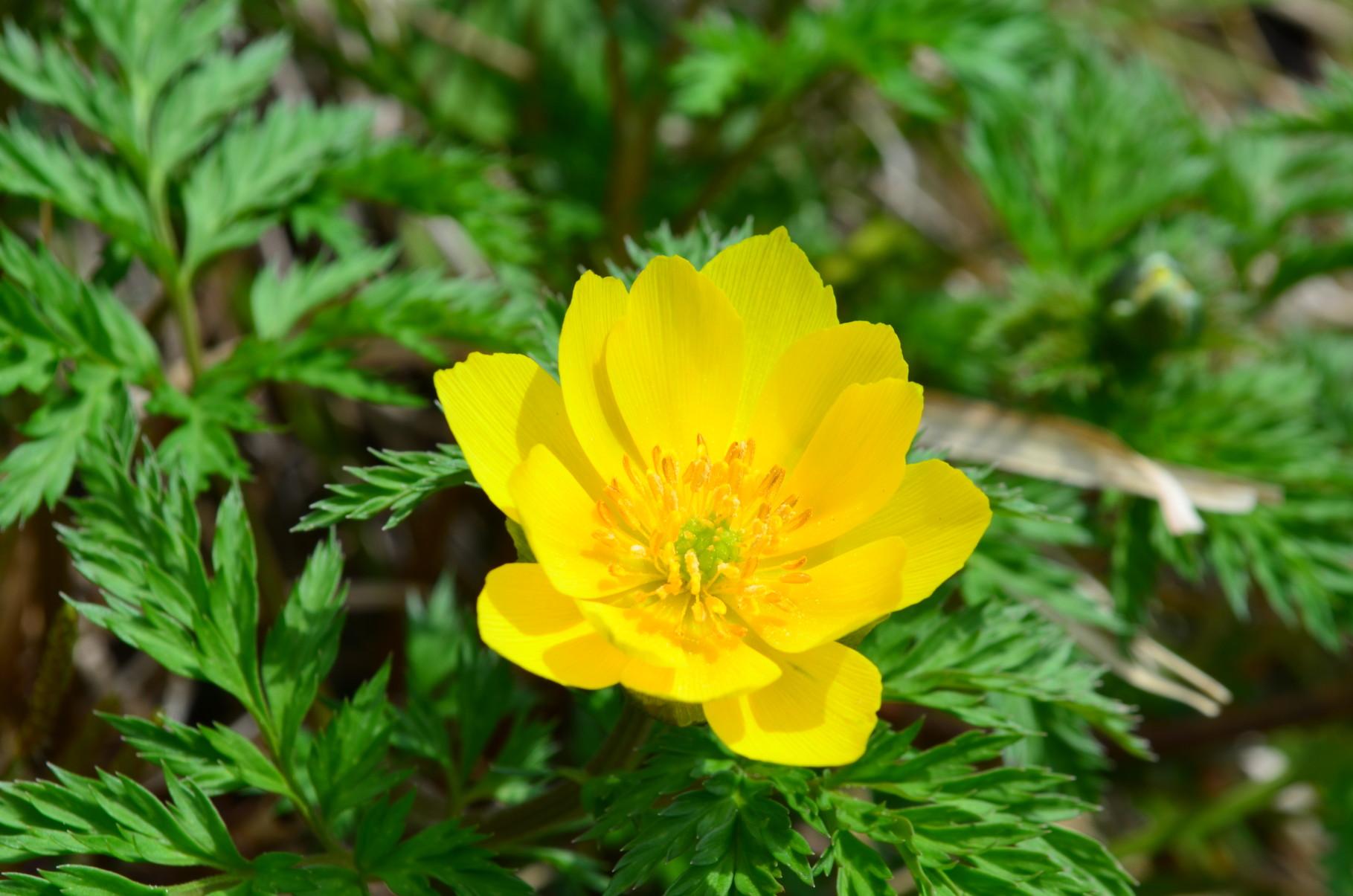 鮮やかな黄色が美しいミチノクフクジュソウ