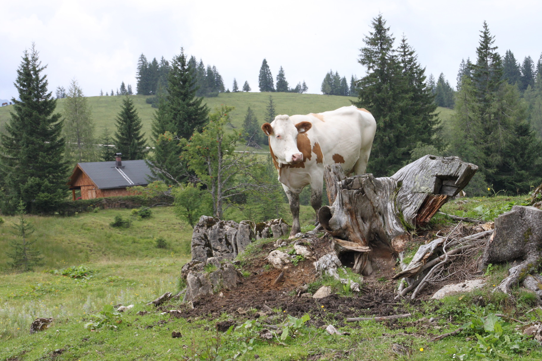 wieder ne Kuh