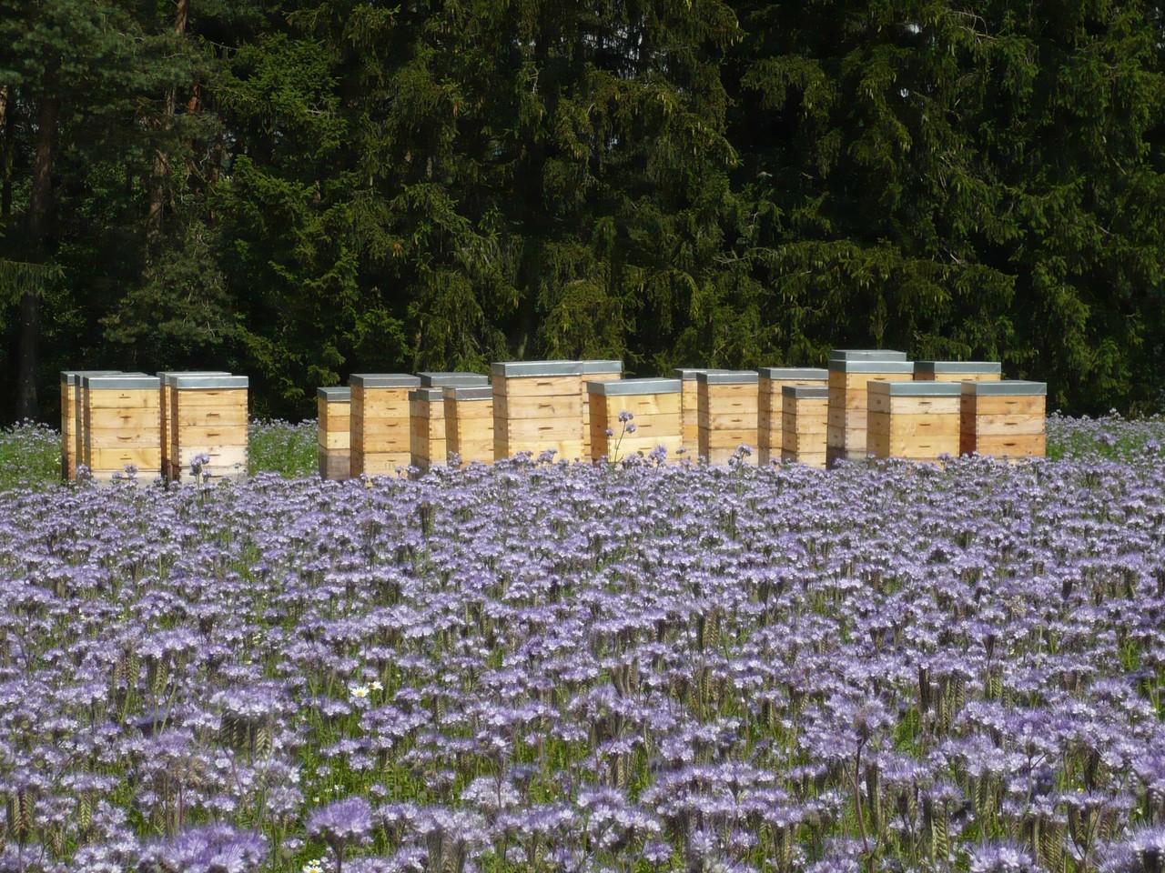 Bienenbeuten inmitten von Phacelia-Blüten