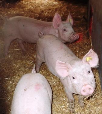 Neugierig beoachten uns ein paar halbwüchsige Schweinchen.