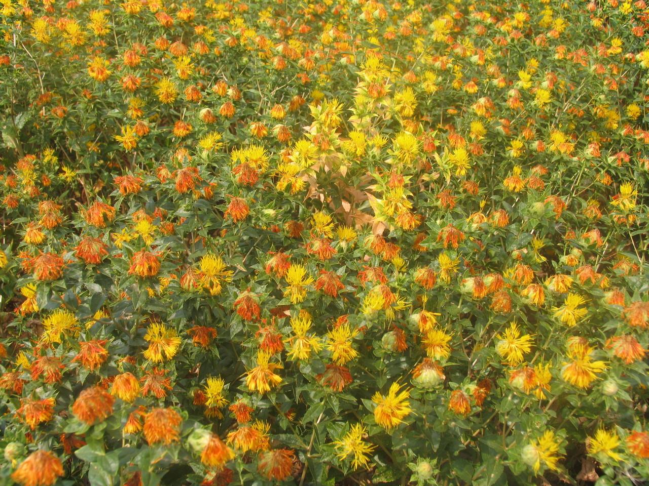 Blühende Färberdisteln