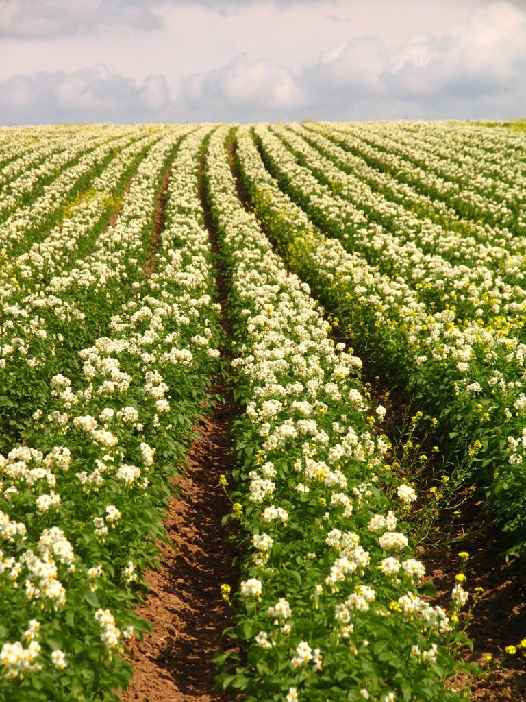 Kartoffelfeld in Blüte