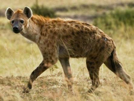 Tüpfel-Hyäne (Zoom)
