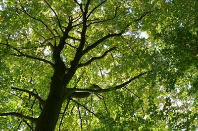 Beech Tree by Rosel Eckstein / pixelio.de