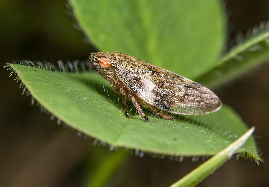 Zikade (Foto: Gernot Liebau)