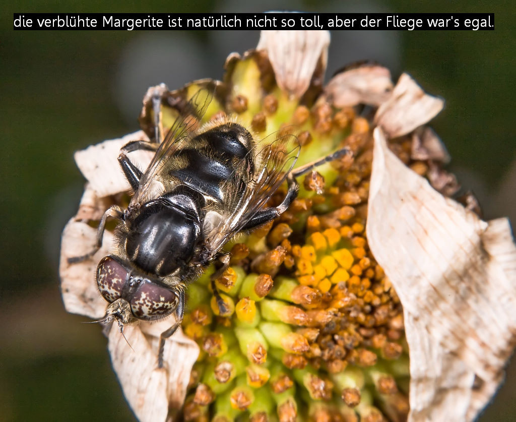 Eristalinus sepulchralis (Foto: Gernot Liebau)