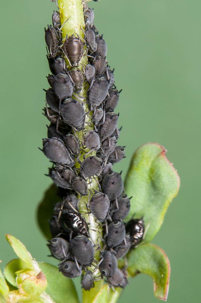 Blattläuse (Foto: Gernot Liebau)