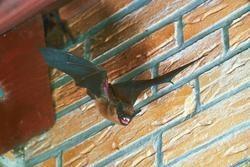 Eine Breitflügelfledermaus beim Ausflug aus ihrem Quartier (Foto: Eberhard Menz, NABU)