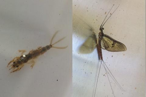 モンカゲロウの幼虫と成虫(春)