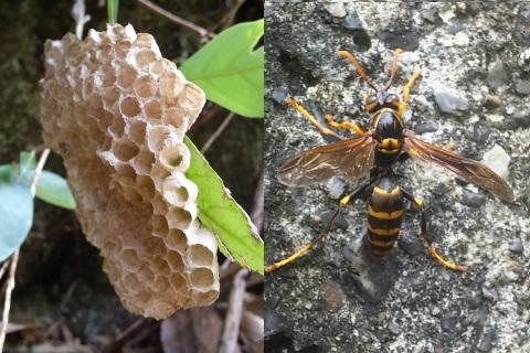4、アシナガバチ(近づきすぎ注意)