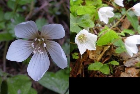 7、ミヤマカタバミの花
