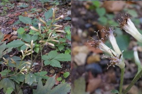 40、モミジガサの花