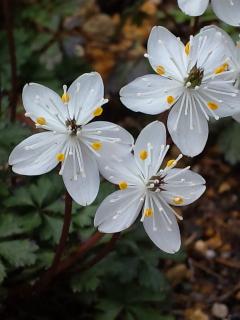 3、バイカオウレンの花