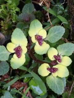 4、ボタンネコノメソウの花